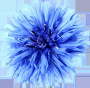 ブルーアスター